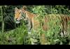 AVG Tigers vs. Toothpicks